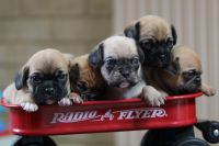Puggle Puppies for sale in Nappanee, IN 46550, USA. price: NA