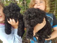 Puli Puppies for sale in Madison, WI, USA. price: NA