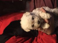 Puli Puppies for sale in Cape Girardeau, MO, USA. price: NA