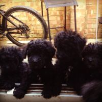 Puli Puppies for sale in 58503 Rd 225, North Fork, CA 93643, USA. price: NA