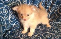 Puli Puppies Photos