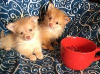 Puli Puppies for sale in F1B Atlantic Blvd, Jacksonville, FL 32224, USA. price: NA