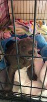 Puli Puppies for sale in 8718 NE Davis St, Portland, OR 97220, USA. price: NA