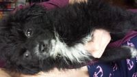 Pumi Puppies for sale in Racine, WI, USA. price: NA