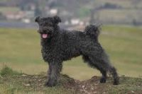 Pumi Puppies for sale in Co Rd 1123, Texas, USA. price: NA