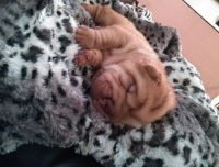 Chinese Shar Pei Puppies for sale in Pittsburgh, PA, USA. price: NA