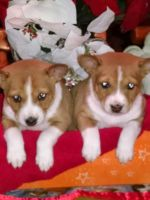 Basenji Puppies for sale in Minneapolis, MN, USA. price: NA