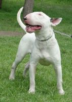 Bull and Terrier Puppies for sale in Tampa, FL, USA. price: NA