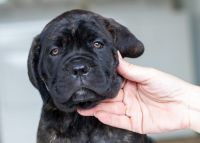 Cane Corso Puppies for sale in Coral Springs, FL, USA. price: NA