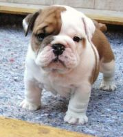 Bull and Terrier Puppies for sale in Greenwood, SC, USA. price: NA