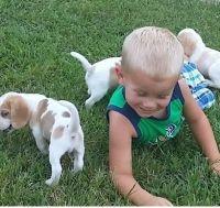 Olde English Bulldogge Puppies for sale in Elizabeth, NJ, USA. price: NA