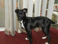 Rat Terrier Puppies for sale in Helena, MT, USA. price: NA