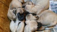 English Mastiff Puppies for sale in Miami, FL, USA. price: NA