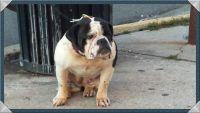 Olde English Bulldogge Puppies for sale in Anchorage, AK, USA. price: NA