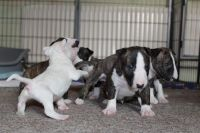 Bull Terrier Miniature Puppies for sale in Fargo, ND, USA. price: NA