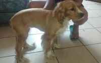 American Cocker Spaniel Puppies for sale in Fort Lauderdale, FL, USA. price: NA
