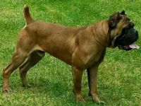 Cane Corso Puppies for sale in Bellaire, OH 43906, USA. price: NA