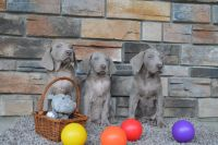 Weimaraner Puppies for sale in Millersburg, OH 44654, USA. price: NA
