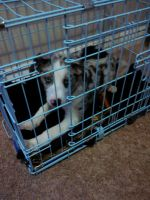 Catahoula Leopard Puppies for sale in Pueblo, CO, USA. price: NA