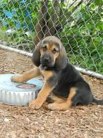 Bloodhound Puppies for sale in Chicago, IL, USA. price: NA