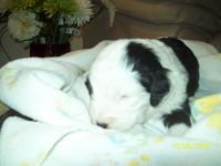 Old English Sheepdog Puppies for sale in Little Rock, AR, USA. price: NA