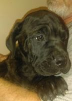 American Mastiff Puppies for sale in Dallas, TX, USA. price: NA