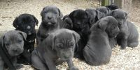 Cane Corso Puppies for sale in Tennessee, USA. price: NA
