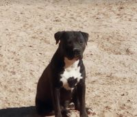 Pyredoodle Puppies for sale in El Paso, TX, USA. price: NA