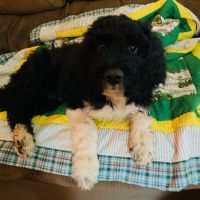 Pyredoodle Puppies for sale in North Arlington, NJ, USA. price: NA