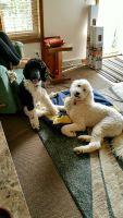 Pyredoodle Puppies Photos