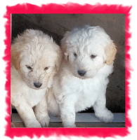 Pyredoodle Puppies for sale in Towanda, KS 67144, USA. price: NA