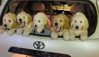 Pyredoodle Puppies for sale in Eugene, OR, USA. price: NA