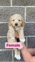 Pyredoodle Puppies for sale in Lehi, UT, USA. price: NA