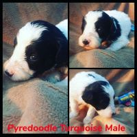 Pyredoodle Puppies for sale in Fort Smith, AR, USA. price: NA