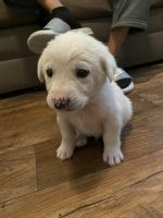 Pyrenean Mastiff Puppies for sale in Austin, TX, USA. price: NA