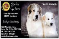 Pyrenean Shepherd Puppies for sale in Los Angeles, CA, USA. price: NA