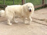 Pyrenean Shepherd Puppies for sale in United States. price: NA