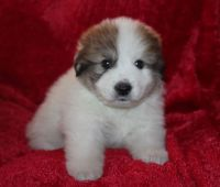Pyrenean Shepherd Puppies for sale in Putnam Valley, NY 10579, USA. price: NA