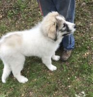 Pyrenean Shepherd Puppies for sale in OR-99W, McMinnville, OR 97128, USA. price: NA