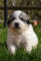 Pyrenean Shepherd Puppies for sale in Fort Worth, TX, USA. price: NA