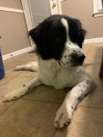 Pyrenean Shepherd Puppies for sale in Clarksville, TN, USA. price: NA