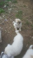 Pyrenean Shepherd Puppies for sale in Monticello, FL 32344, USA. price: NA