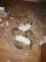 Pyrenean Shepherd Puppies Photos