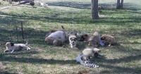 Pyrenean Shepherd Puppies for sale in Boyero, CO 80821, USA. price: NA