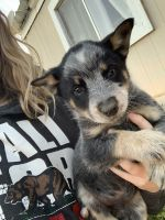 Queensland Heeler Puppies Photos