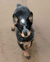 queensland heeler dog