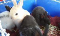 Rabbit Rabbits for sale in Tampa, FL, USA. price: NA