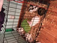 Rabbit Rabbits for sale in St. Louis, MO, USA. price: NA