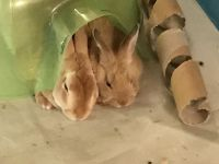Rabbit Rabbits for sale in Taneytown, MD 21787, USA. price: NA