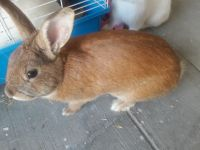 Rabbit Rabbits for sale in Los Angeles, CA 90023, USA. price: NA